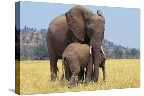 African Elephant Female, Cow with Young Calf--Stretched Canvas Print