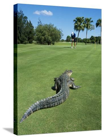 American Alligator on Golf Course--Stretched Canvas Print