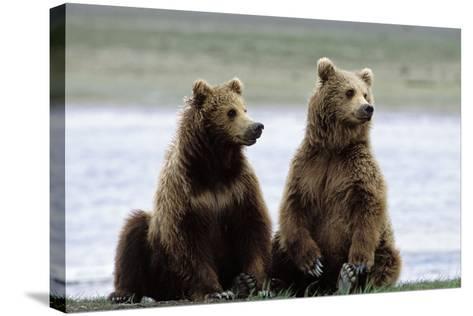 Alaskan Brown Bear Sub-Adults--Stretched Canvas Print