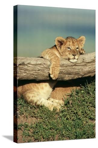 Lion Cub on Log--Stretched Canvas Print