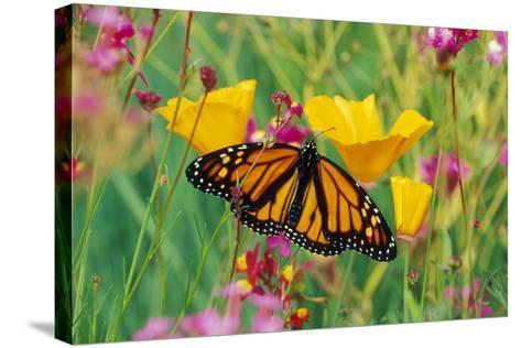 Milkweed Butterfly on California--Stretched Canvas Print