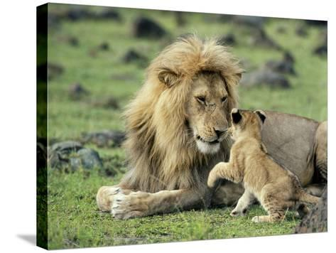 Lion Single Male Playing with Cub--Stretched Canvas Print