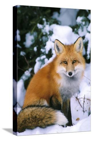 Red Fox in Snow--Stretched Canvas Print