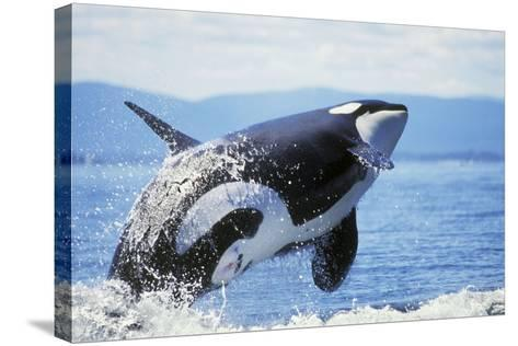 Orca Whale Breaching--Stretched Canvas Print