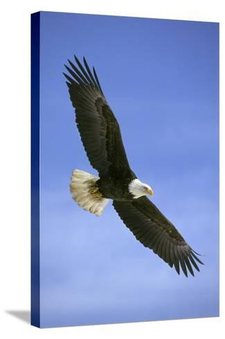 Bald Eagle in Flight--Stretched Canvas Print