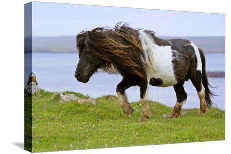 Piebald Shetland Pony Magnificent Leading Stud--Stretched Canvas Print