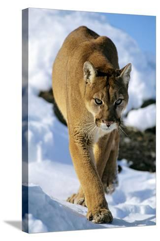 Puma in Winter--Stretched Canvas Print