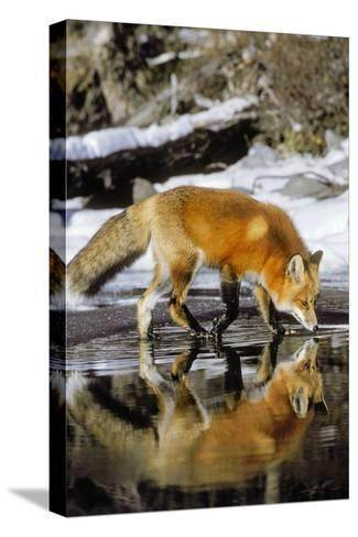 Red Fox Along Edge of Freezing Lake, November--Stretched Canvas Print