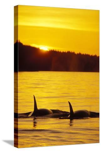 Killer Whale--Stretched Canvas Print