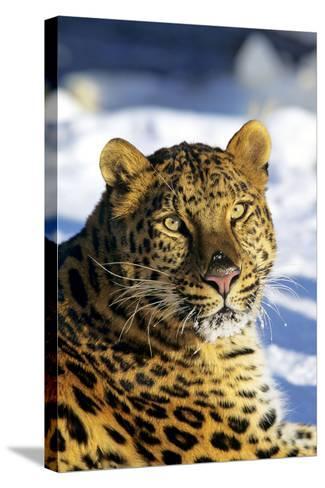 Korean Leopard--Stretched Canvas Print