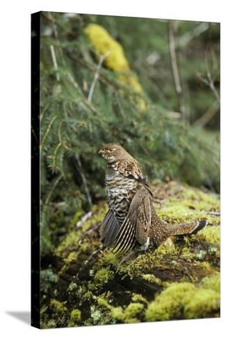Ruffed Grouse Drumming (Spring Mating-Territorial Display)--Stretched Canvas Print