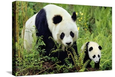 Giant Panda Mother and Young Cub--Stretched Canvas Print