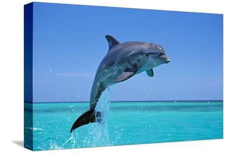 Bottlenosed Dolphin Leaping Out of Water--Stretched Canvas Print