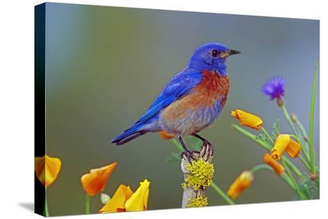 Western Bluebird Male--Stretched Canvas Print