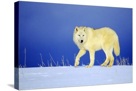 Arctic Gray Wolf in Winter Snow--Stretched Canvas Print