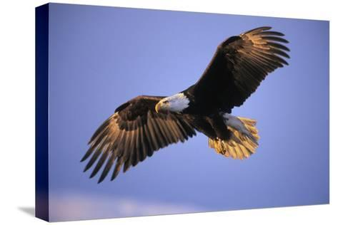 Bald Eagle in Flight, Early Morning Light--Stretched Canvas Print