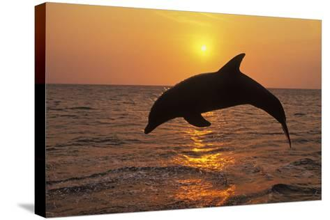 Bottlenosed Dolphin Leaping Out of Water at Sunset--Stretched Canvas Print