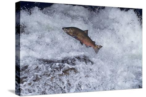 Chinook Salmon Leaping Falls During Migration--Stretched Canvas Print