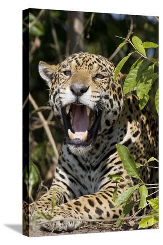 Jaguar Lying Down Yawning--Stretched Canvas Print
