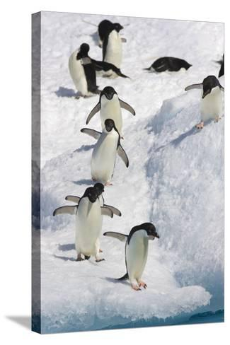 Adelie Penguin on Iceberg--Stretched Canvas Print