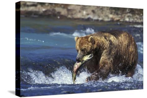 Coastal Grizzly Bear with Salmon in Mouth--Stretched Canvas Print