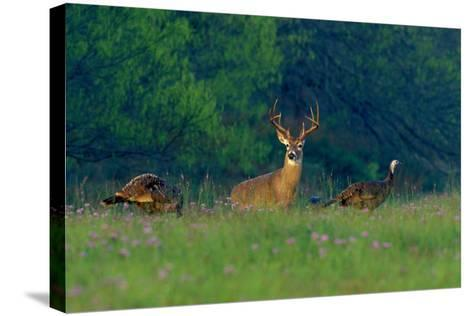 White-Tailed Deer Buck with Rio Grande Wild Turkeys--Stretched Canvas Print