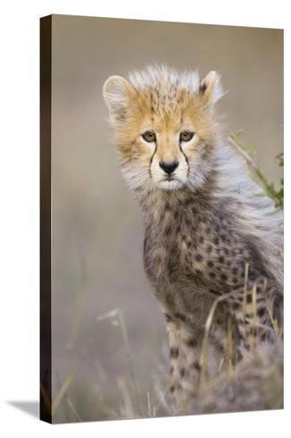 Cheetah 10-12 Week Old Cub--Stretched Canvas Print