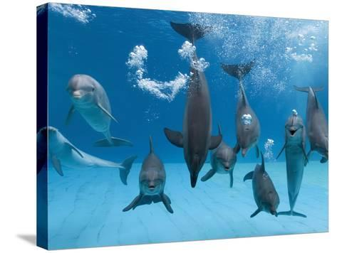 Bottlenose Dolphins Dancing and Blowing Air Underwater-Augusto Leandro Stanzani-Stretched Canvas Print