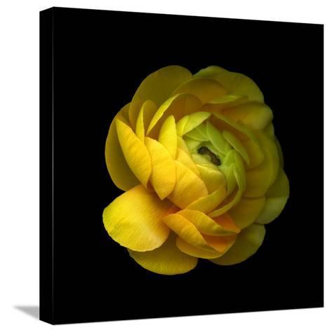 Ranunculus Close-Up-Magda Indigo-Stretched Canvas Print