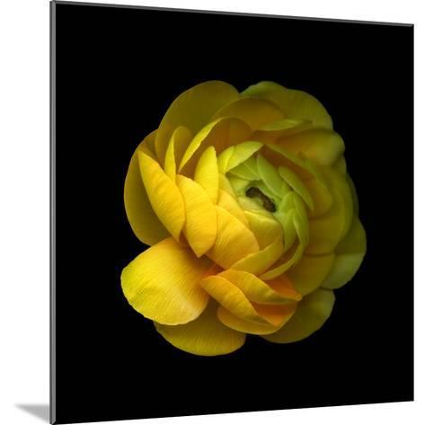 Ranunculus Close-Up-Magda Indigo-Mounted Photographic Print