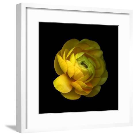 Ranunculus Close-Up-Magda Indigo-Framed Art Print
