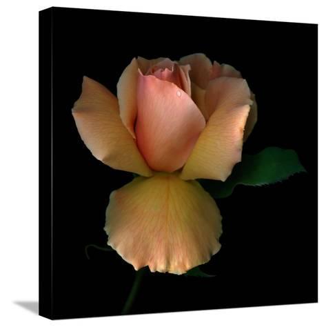Rose 2-Magda Indigo-Stretched Canvas Print