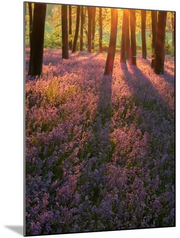 Bluebell Sunset II-Doug Chinnery-Mounted Photographic Print