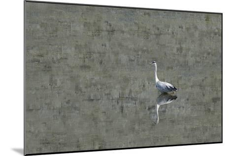 Grey Heron-Adrian Campfield-Mounted Photographic Print