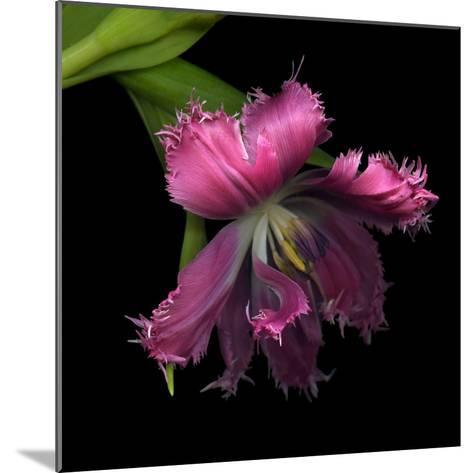 Pink Frazzled Tulip-Magda Indigo-Mounted Photographic Print