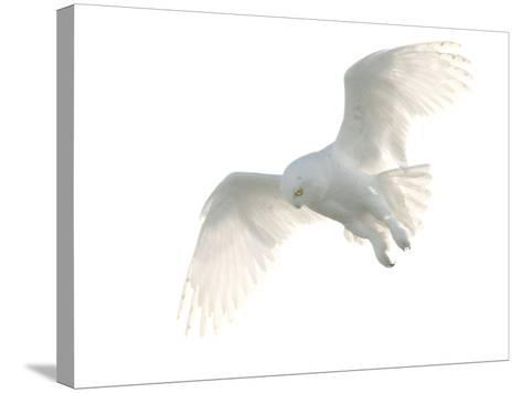 Snowy Owl-Pat Gaines-Stretched Canvas Print