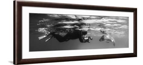 Diver Comes Face to Face with a Leopard Seal, Astrolabe Island, Antarctica--Framed Art Print