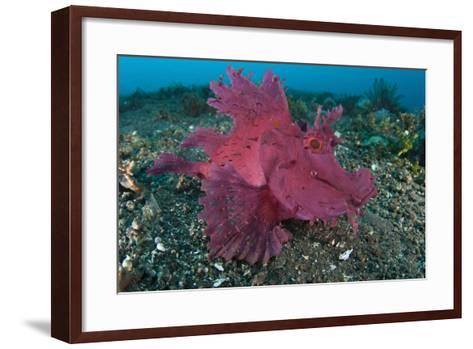A Bright Pink-Purple Paddle-Flap Scorpionfish on Volcanic Sand, Bali--Framed Art Print
