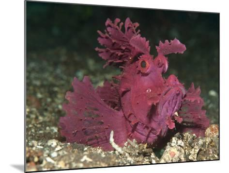 A Bright Pink-Purple Paddle-Flap Scorpionfish on Volcanic Sand, Bali--Mounted Photographic Print