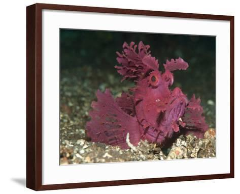 A Bright Pink-Purple Paddle-Flap Scorpionfish on Volcanic Sand, Bali--Framed Art Print