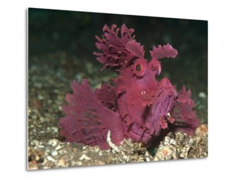 A Bright Pink-Purple Paddle-Flap Scorpionfish on Volcanic Sand, Bali--Metal Print