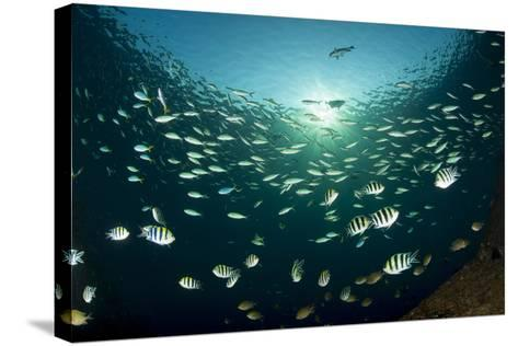 Schooling Indo-Pacific Sergeant Fish with Fusilier Species in Background, Bali--Stretched Canvas Print