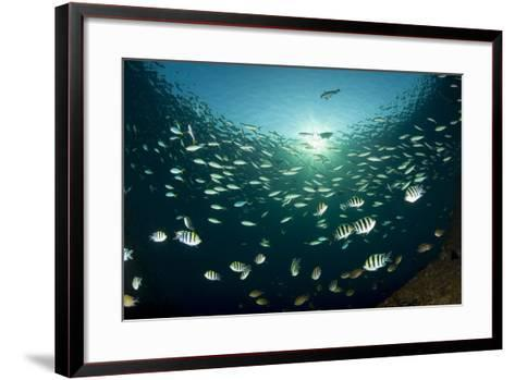 Schooling Indo-Pacific Sergeant Fish with Fusilier Species in Background, Bali--Framed Art Print