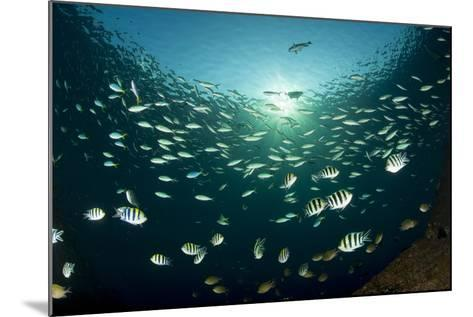 Schooling Indo-Pacific Sergeant Fish with Fusilier Species in Background, Bali--Mounted Photographic Print