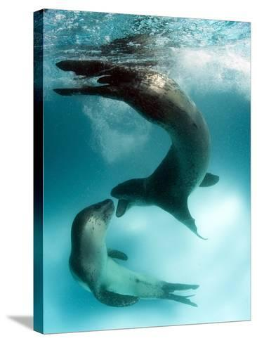 A Pair of Leopard Seals Interacting, Astrolabe Island, Antarctica--Stretched Canvas Print
