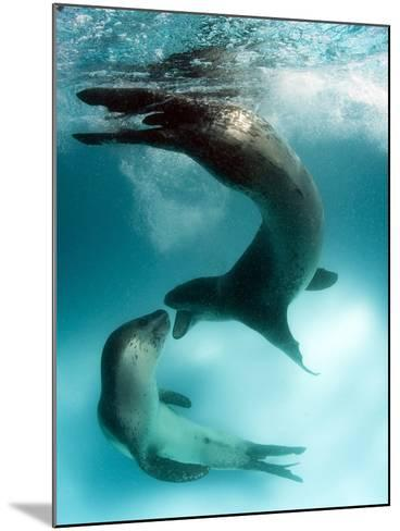 A Pair of Leopard Seals Interacting, Astrolabe Island, Antarctica--Mounted Photographic Print