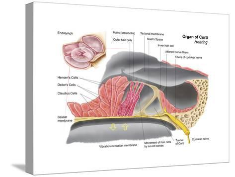 Anatomy of the Organ of Corti, Part of the Cochlea of the Inner Ear--Stretched Canvas Print