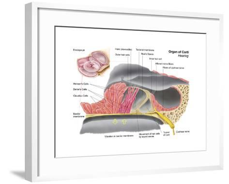 Anatomy of the Organ of Corti, Part of the Cochlea of the Inner Ear--Framed Art Print