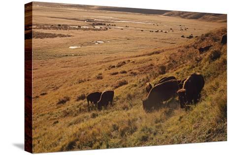 Sunrise on Bison (Bison Bison) Grazing on Hillside-Design Pics / David Ponton-Stretched Canvas Print