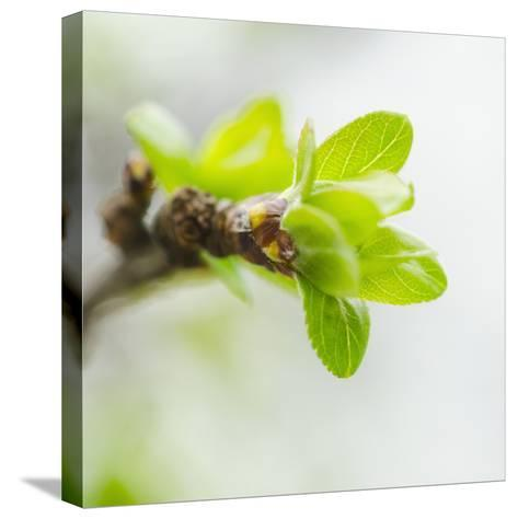 Usa, New York, New York City, close up of Green Buds Ad Leaves on Branch-Tetra Images-Stretched Canvas Print